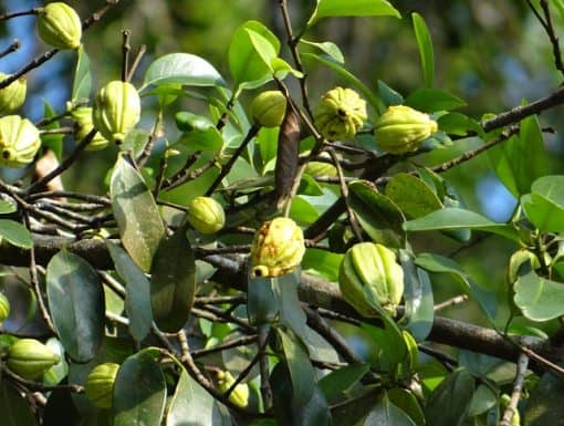garcinia cambogia for weight loss: does it work?