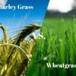 Wheatgrass vs Barley Grass Supergreens - What's The Difference?